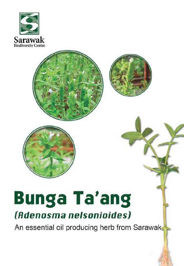 Bunga Taang - Adenosma nelsonioides - The essential oil producing herbs in Sarawak